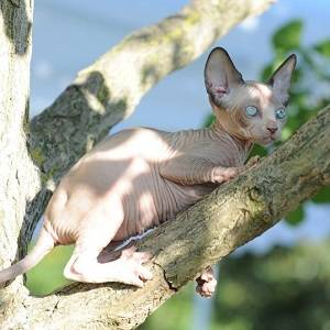 Normal values Sphynx